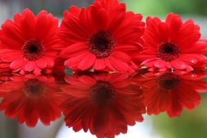 545174_kwiaty_czerwone_gerbery_odbicie_mio_2560x1707_www.GdeFon.ru_