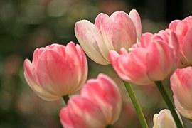 tulips-1134103__180